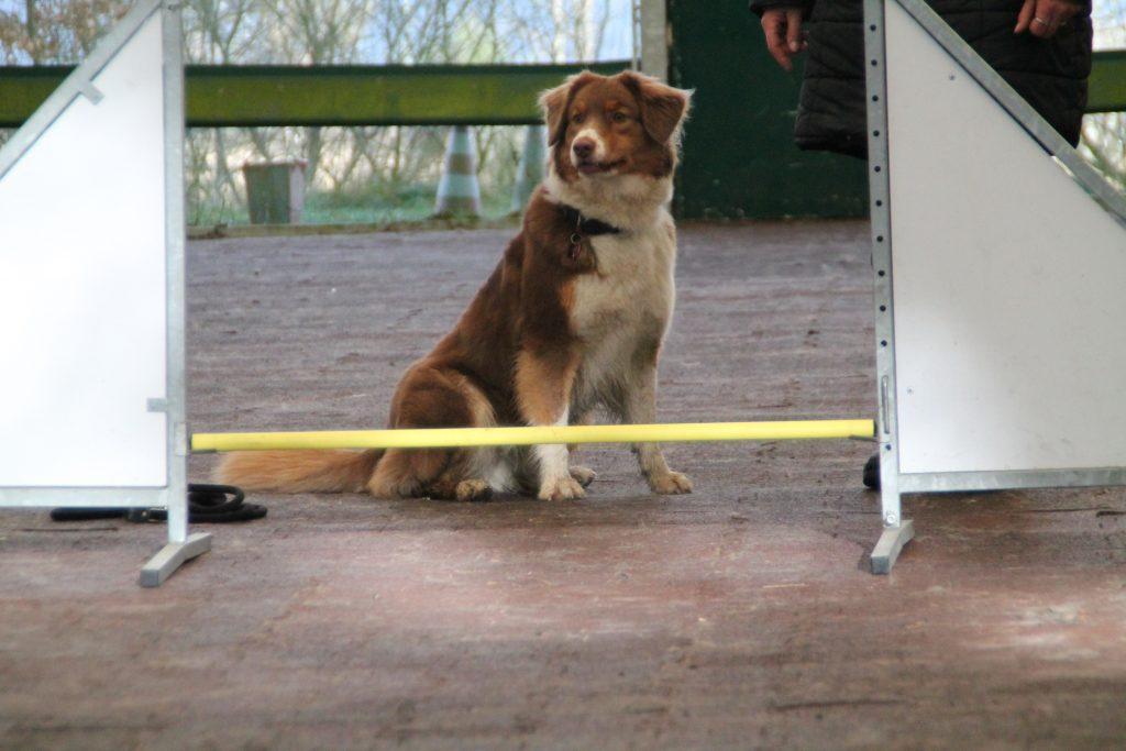 Hund sitz vor Hürde