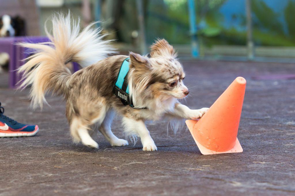 Chihuahua wirft Pylone um