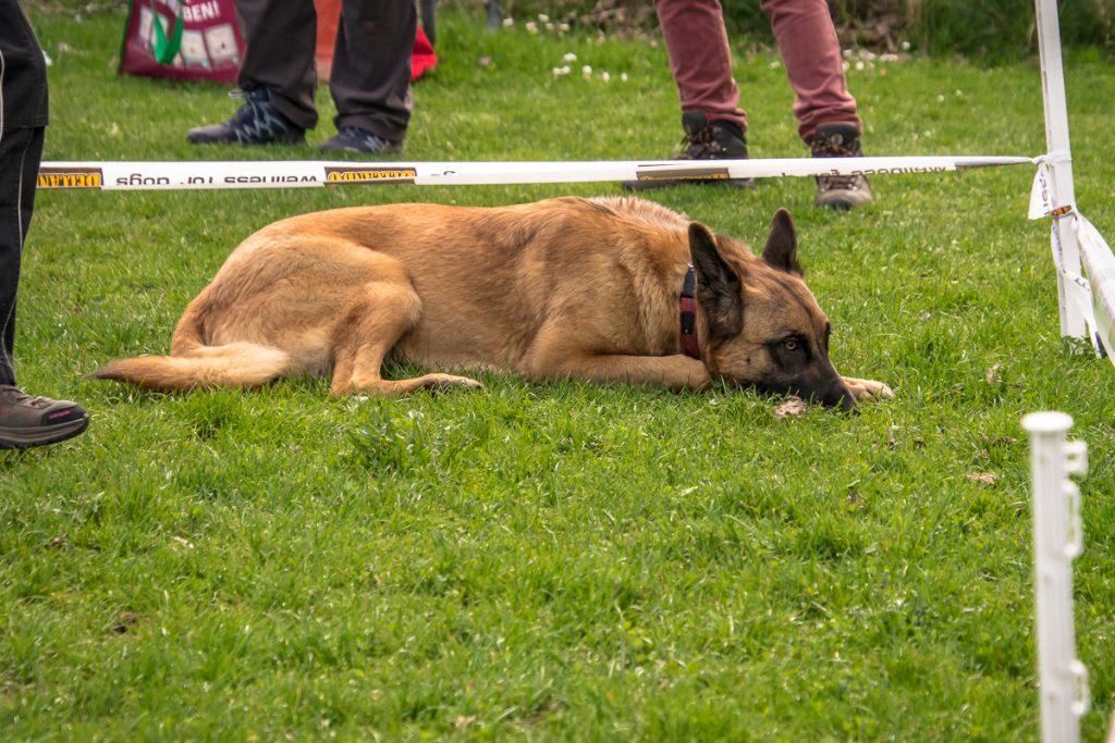 Hund zeigt Gegenstand in Wiese an