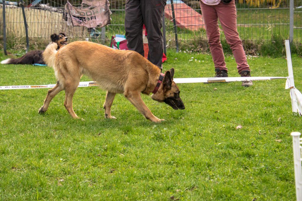 Hund sucht auf Wiese