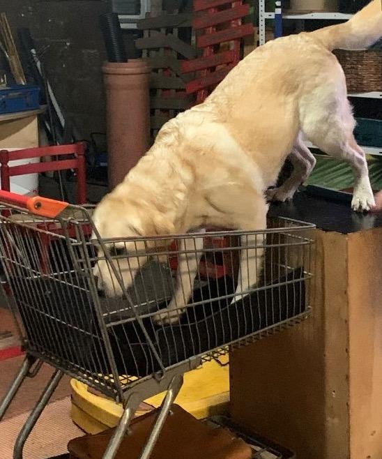 Labrador im Einkaufswagen