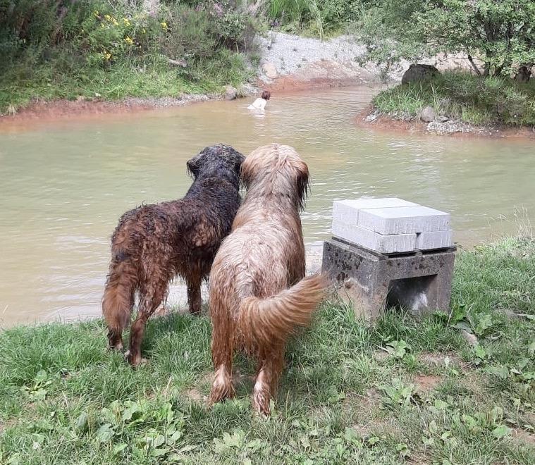 2 Briards am Teich