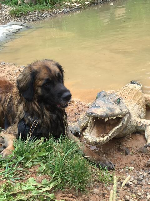 Leonberger mit Krokodil
