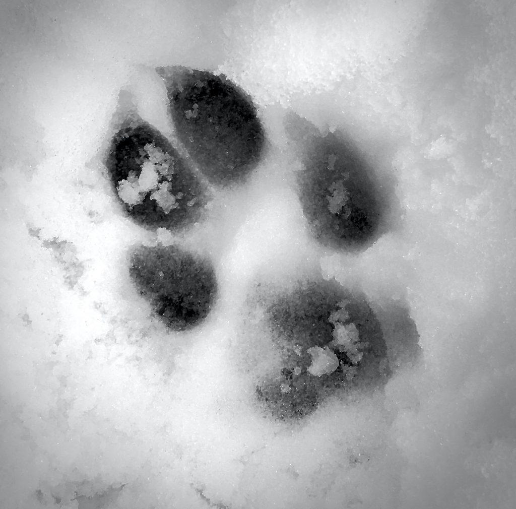 Pfotenabdruck im Schnee